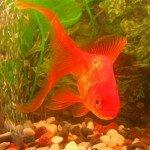 притча о золотой рыбке